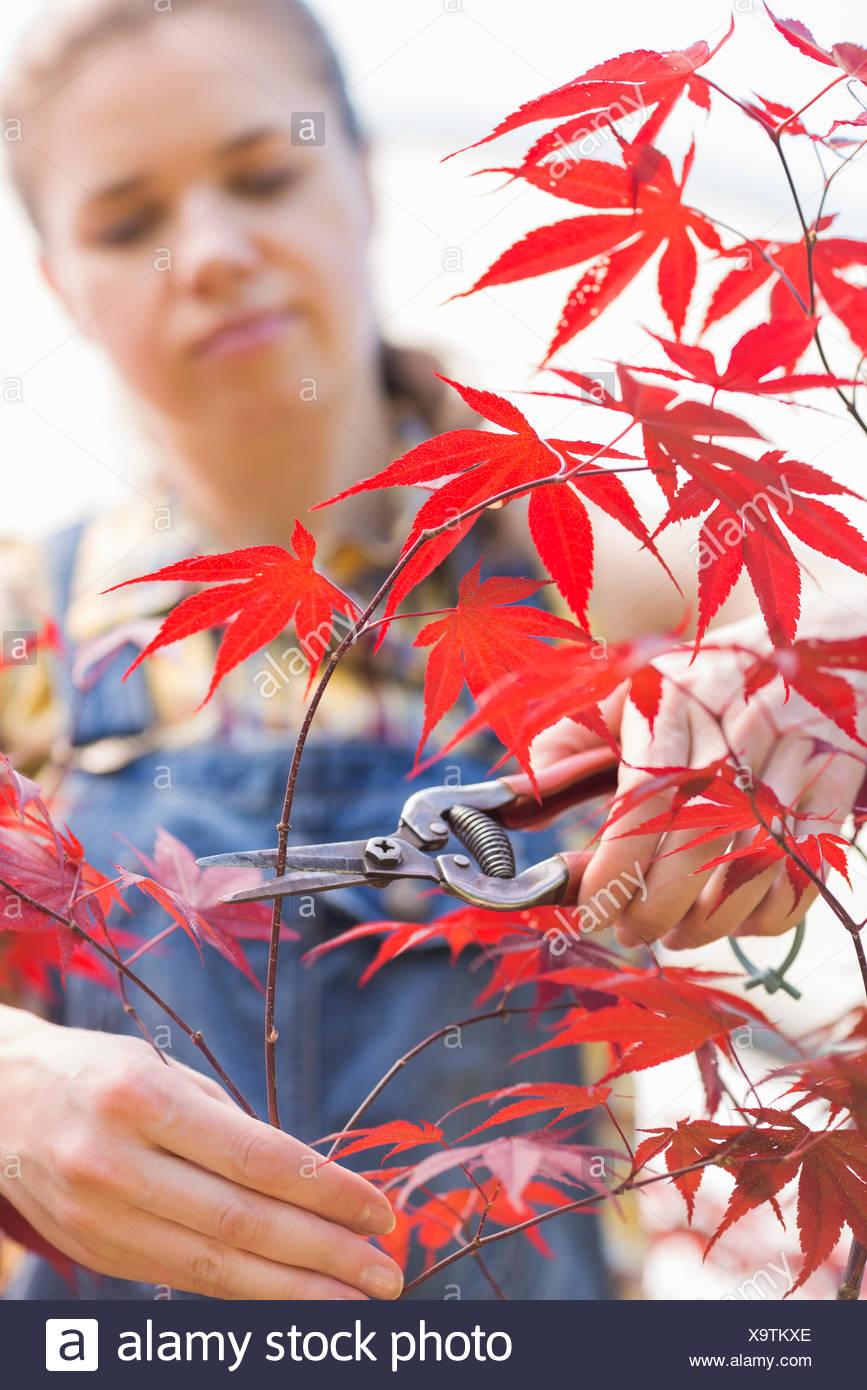 Female gardener clipping maple branch - Stock Image