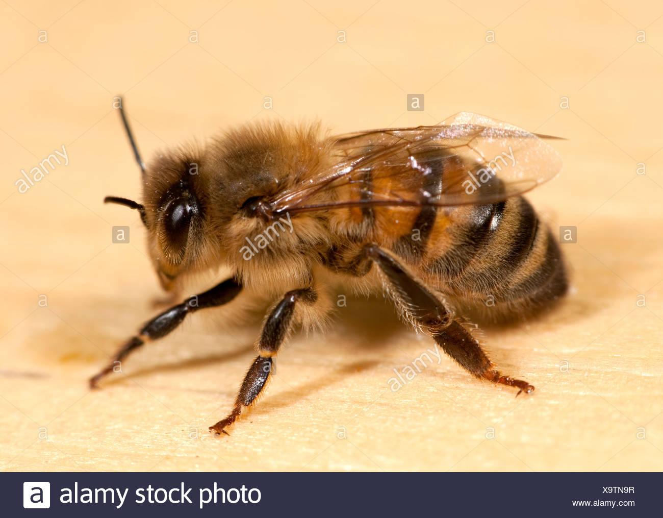 Close up of Worker Honey Bee Apis mellifera Kent UK - Stock Image