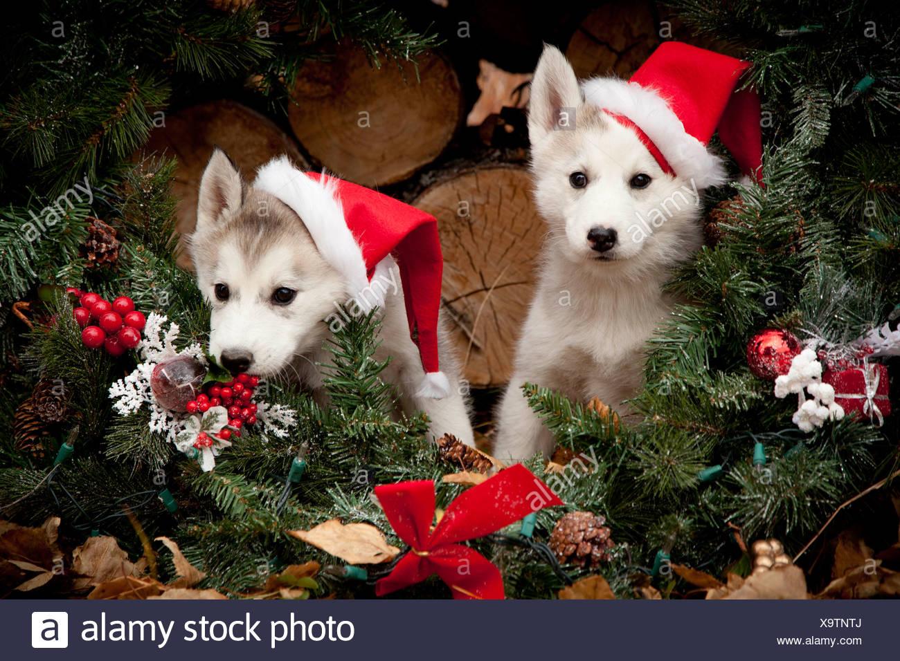 Husky Christmas Puppy.Siberian Husky Puppies Wearing Santa Hats Sit Inside A