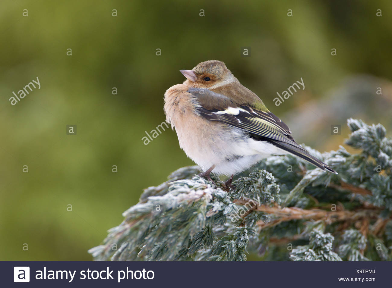 Chaffinch Fringilla coelebs adult male feathers fluffed up perched snow covered conifer shrub garden Chirnside Berwickshire - Stock Image