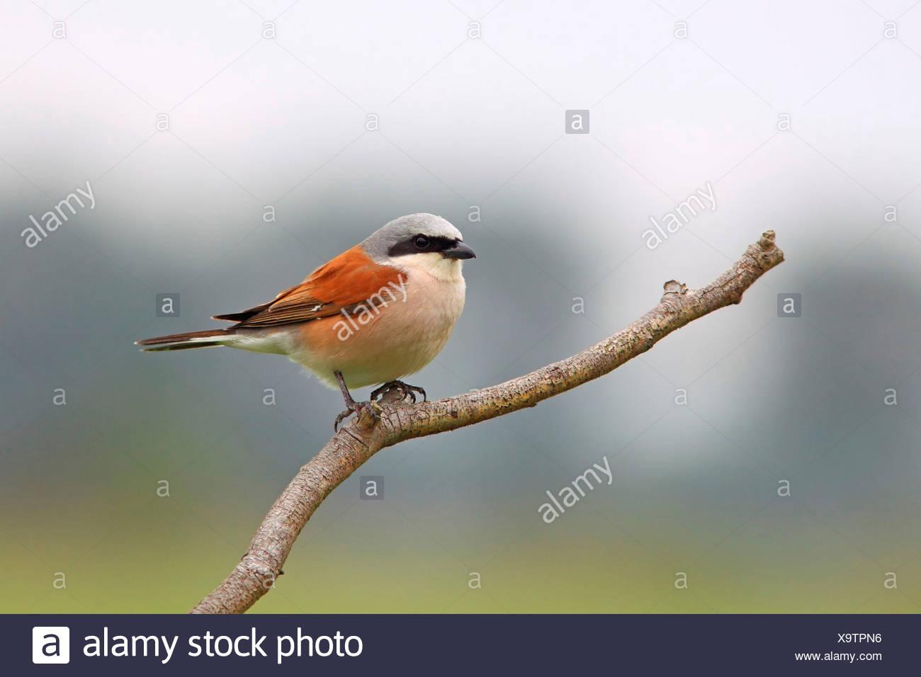 Red-backed Shrike (Lanius collurio), male, perched on branch, Illmitz, Burgenland, Austria Stock Photo