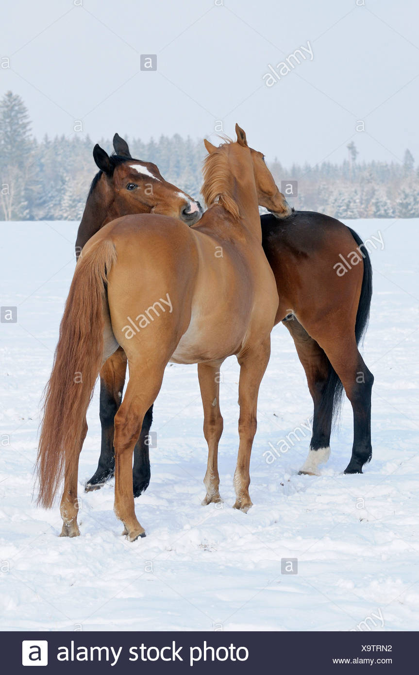 two Warm-blood horses - grooming - Stock Image