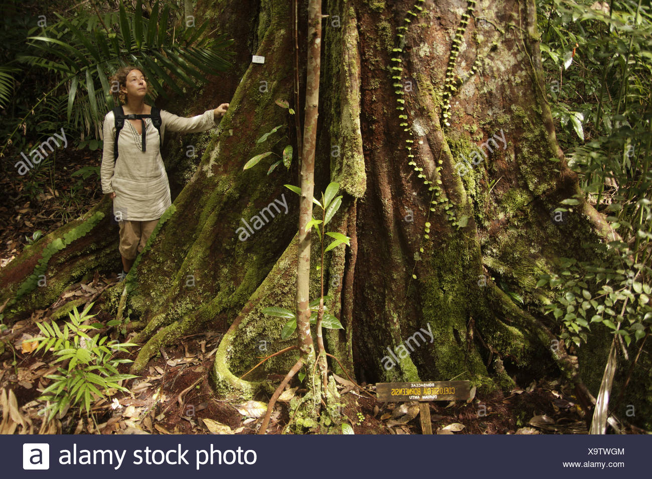 Tourist next to a giant rainforest tree in the Bako National Park near Kuching, Sarawak, Borneo, Malaysia, Southeast Asia - Stock Image