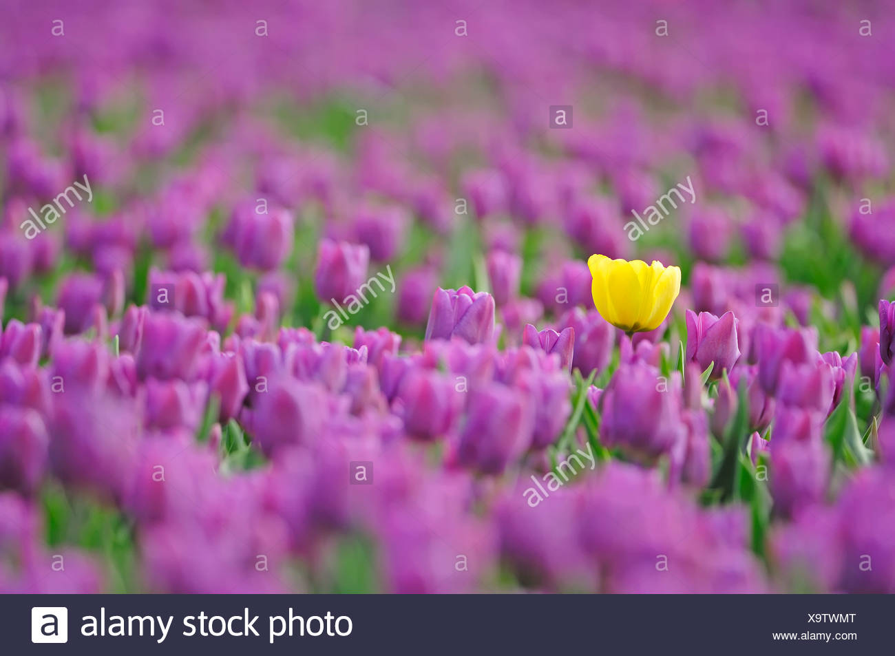 Single yellow tulip in the midst of many purple tulips in a field of Tulips (Tulipa sp.), near Lisse, South Holland, Holland Stock Photo