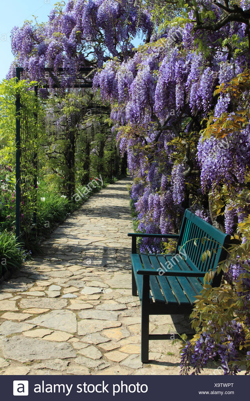 Chinese wisteria (Wisteria sinensis), garten bench with wisteria, Germany - Stock Image