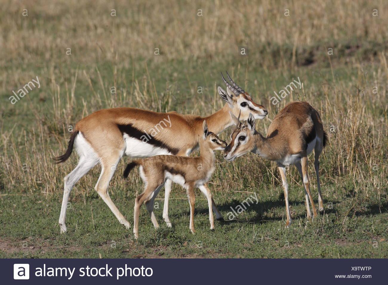 Thomson Gazelles entire Family - Stock Image