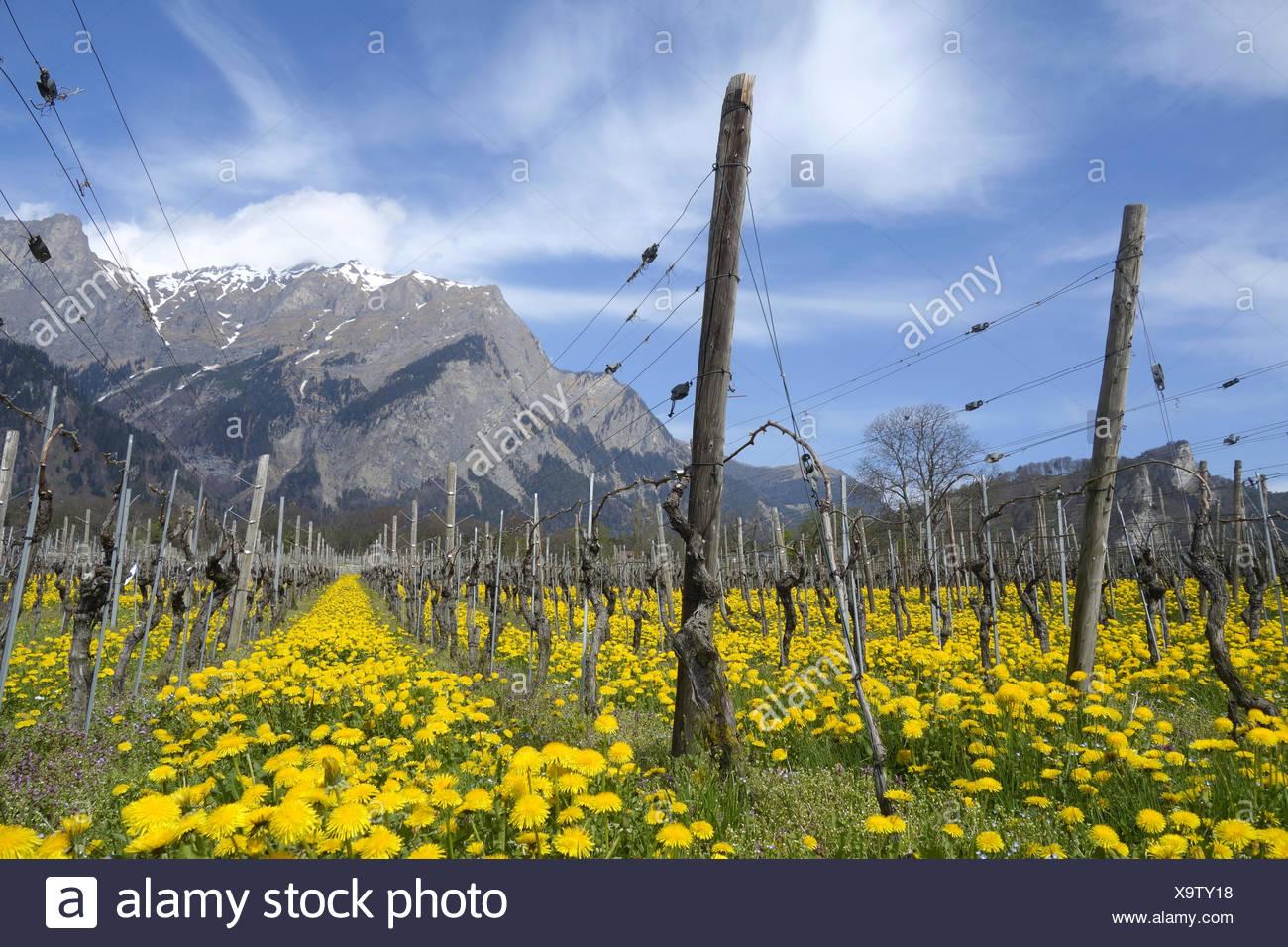 vine in the alps Stock Photo