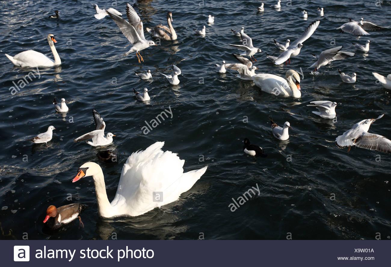 Zurich, Switzerland, Hoeckerschwaene, ducks and gulls on the Zuerichsee - Stock Image