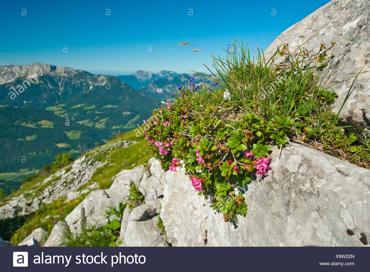 Europe Germany Bavaria Germany Upper Bavaria Berchtesgaden country Kehlstein flower mountain flower mountains mountain pasture - Stock Image