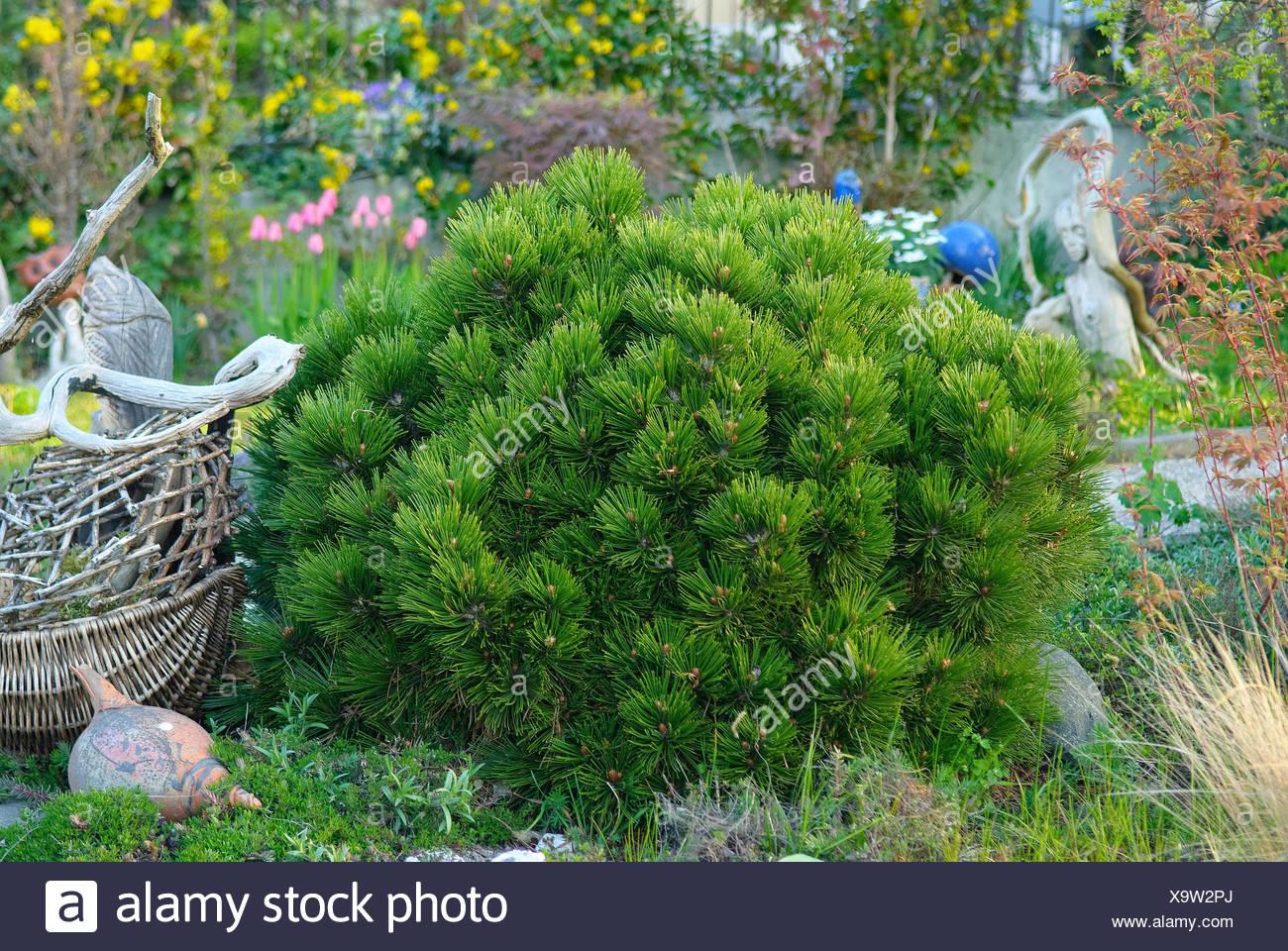Bosnian Pine, Palebark Pine (Pinus heldreichii 'Smidtii', Pinus heldreichii Smidtii), cultivar Smidtii - Stock Image