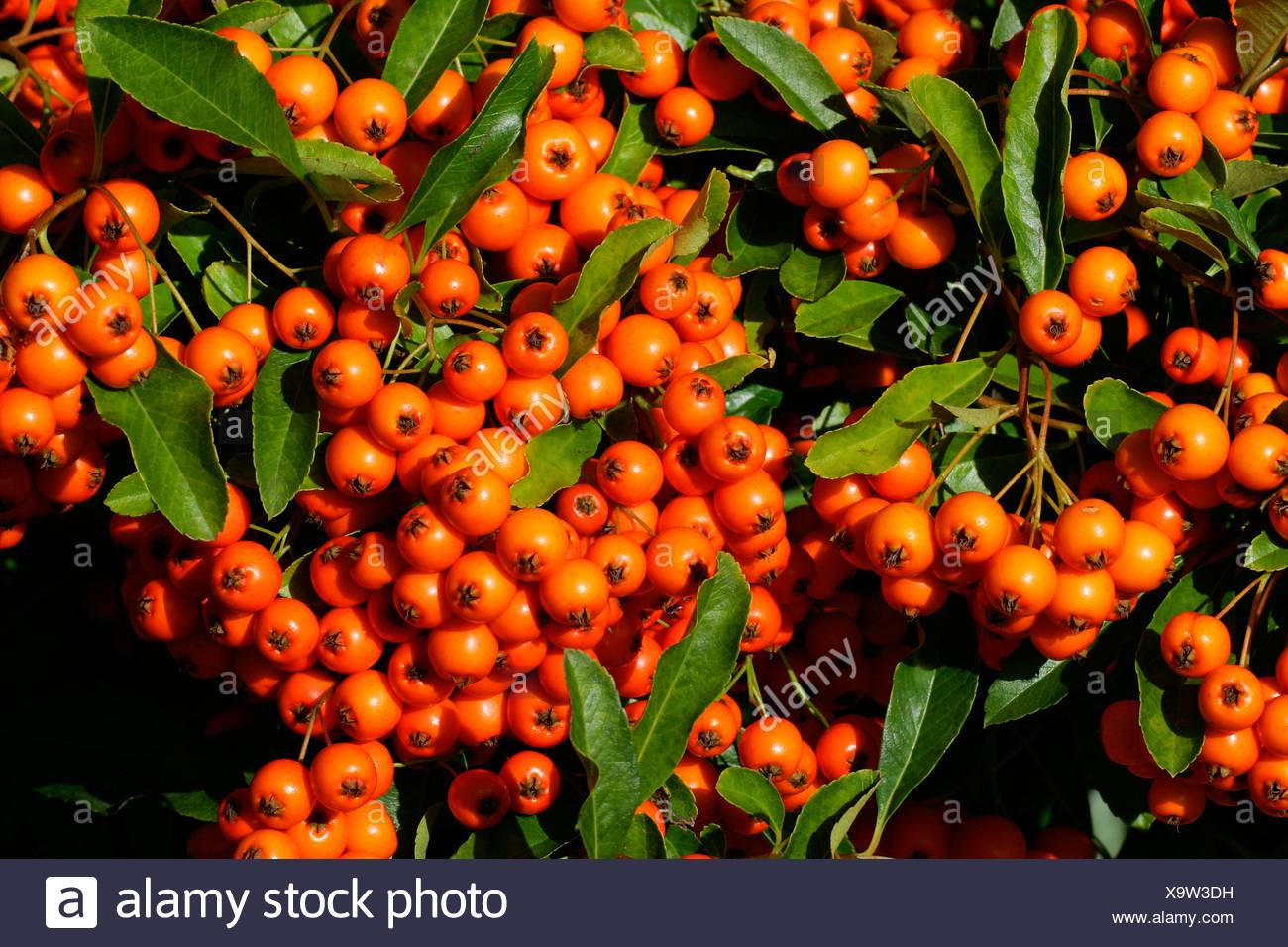 Firethorn cultivar Orange Glow - pyracanth - evergreen thorn (Pyracantha hybrid Orange Glow) Stock Photo