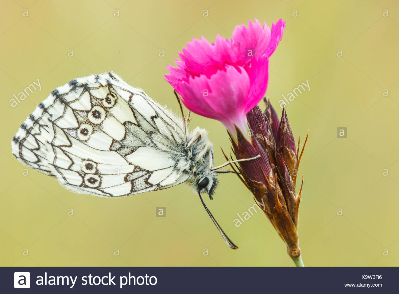 Western marbled white - Stock Image