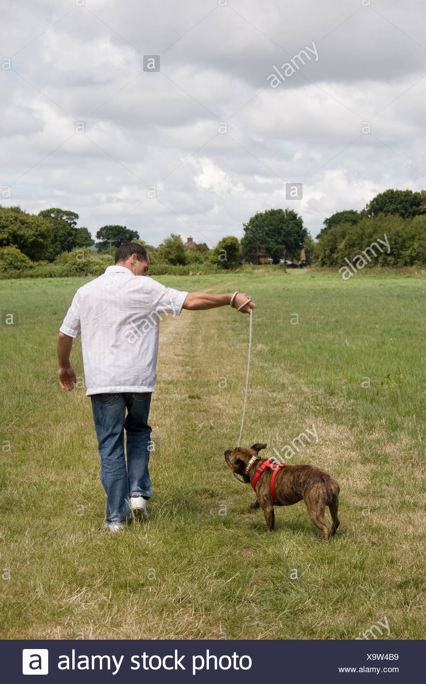 man walking staffordshire bull terrier on lead in countryside - Stock Image