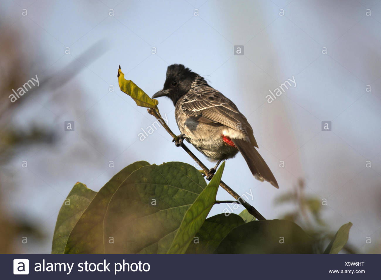 The Red-vented Bulbul (Pycnonotus cafer) is a member of the bulbul family of passerines. - Stock Image