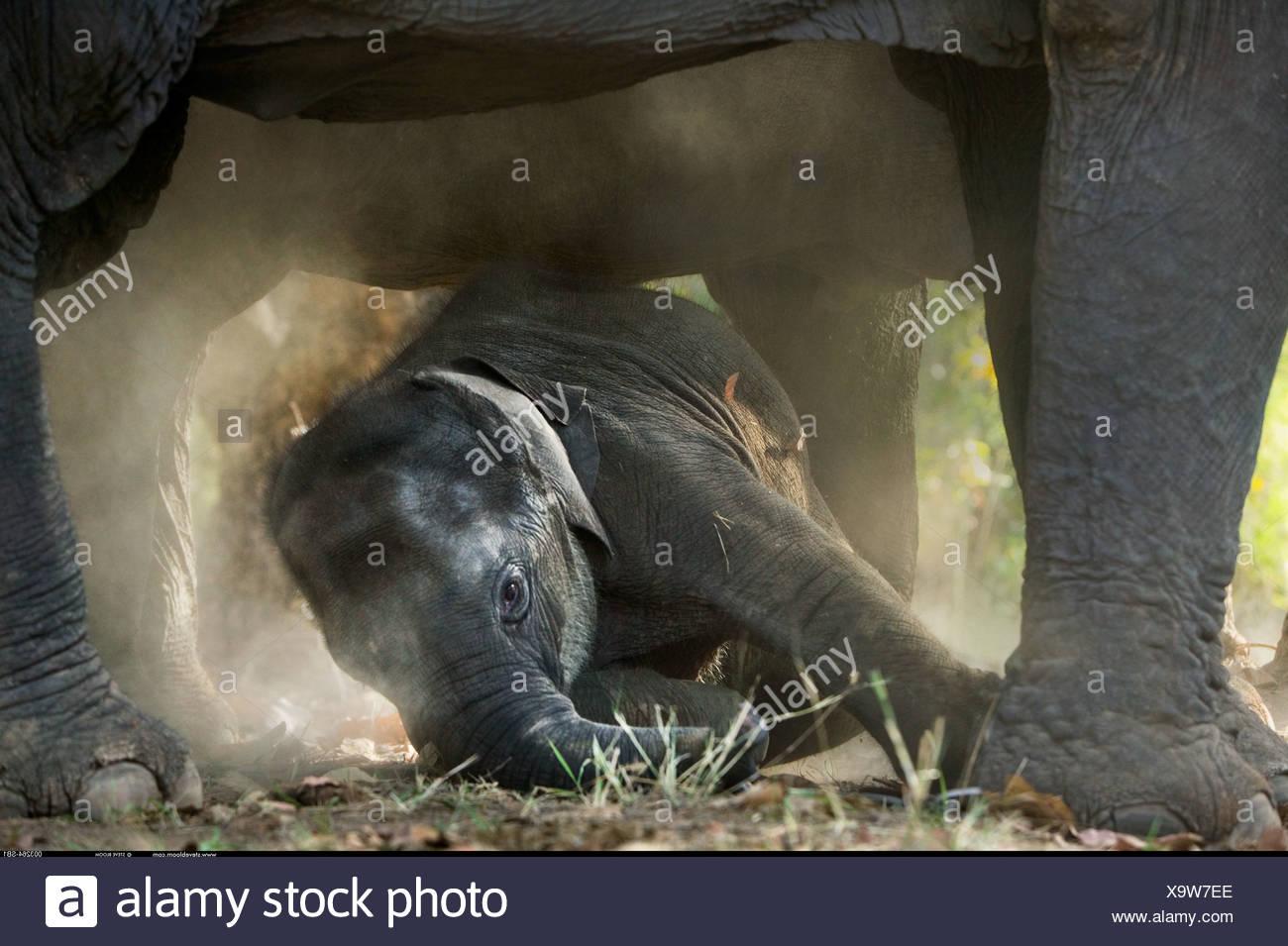 African elephants and calf Masai Mara Kenya - Stock Image