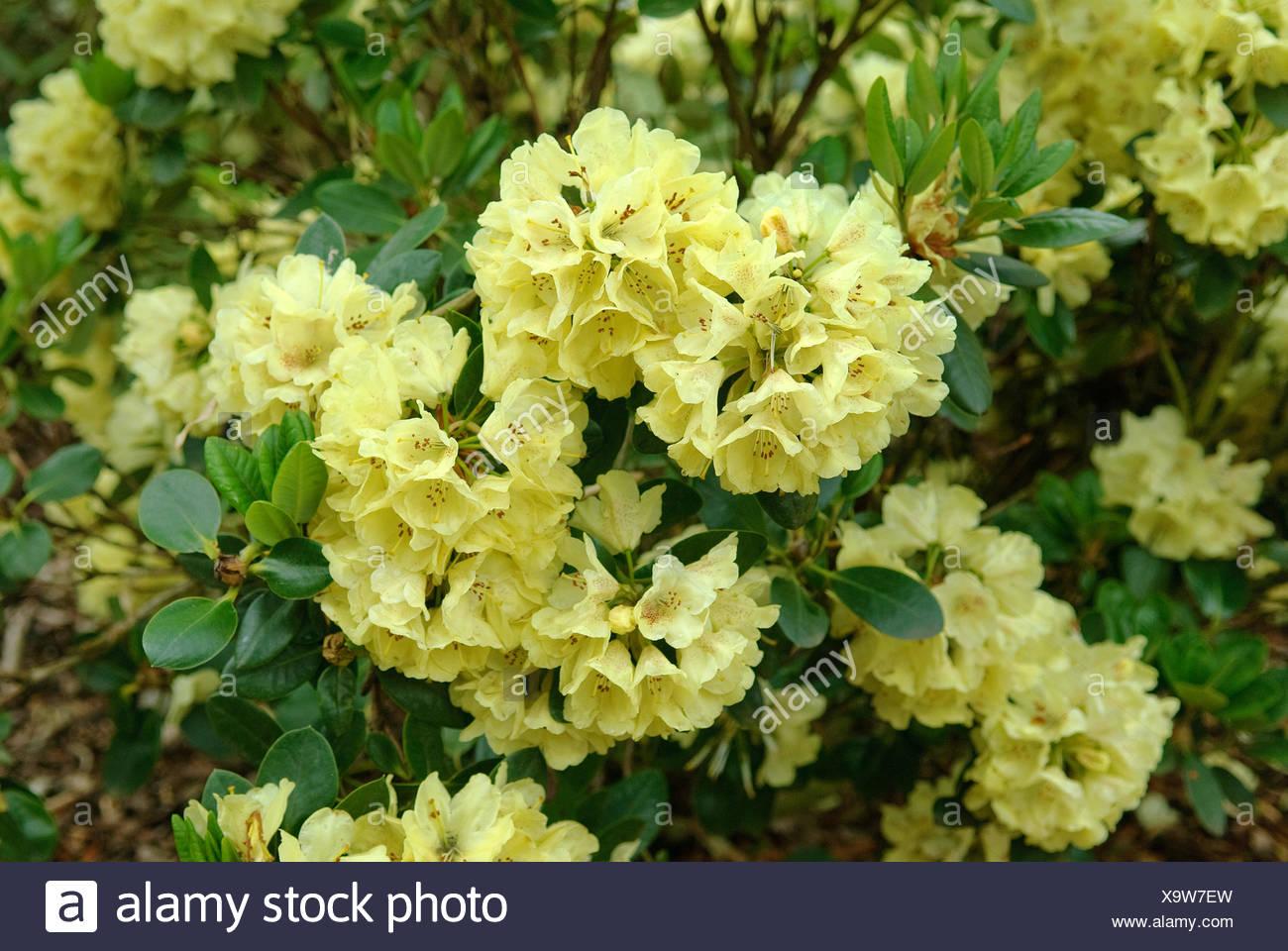rhododendron (Rhododendron 'Goldkrone', Rhododendron Goldkrone), cultivar Goldkrone - Stock Image