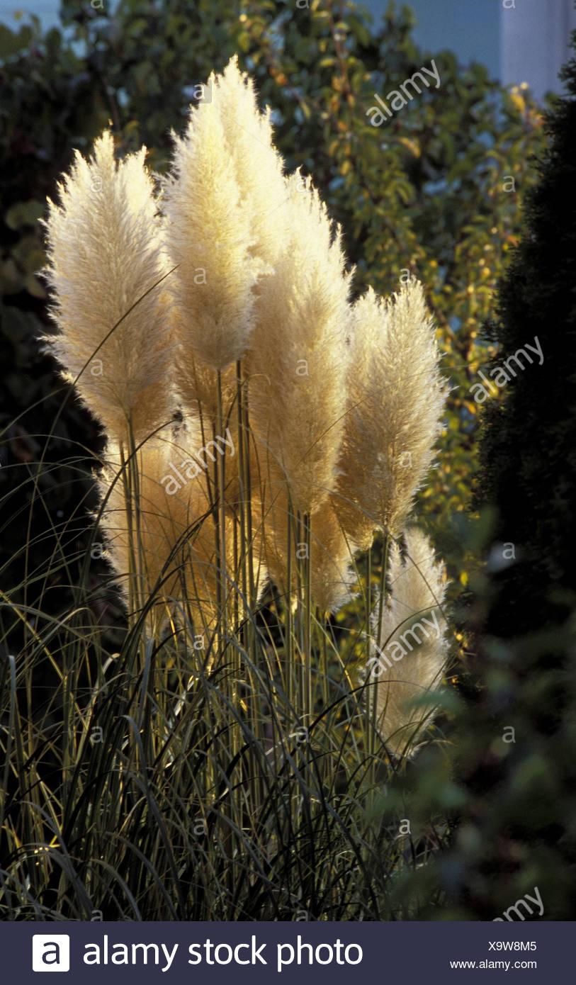 Schilf In Einem Garten Stock Photo 281453429 Alamy
