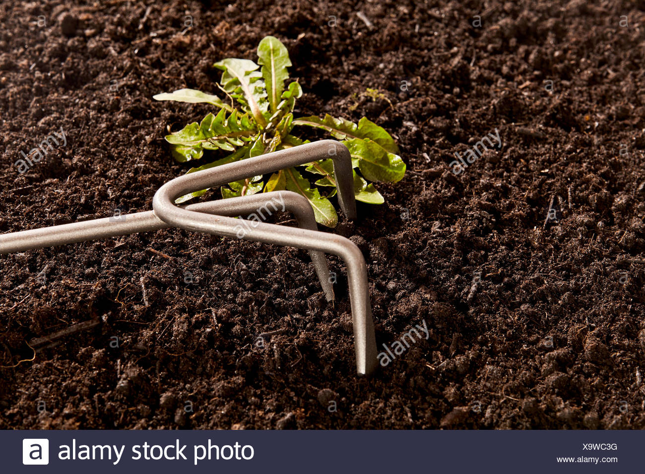 Weeding out undesirable weeds with a small metal rake in a fertile flowerbed, close up view of the garden tool and seedling weed - Stock Image