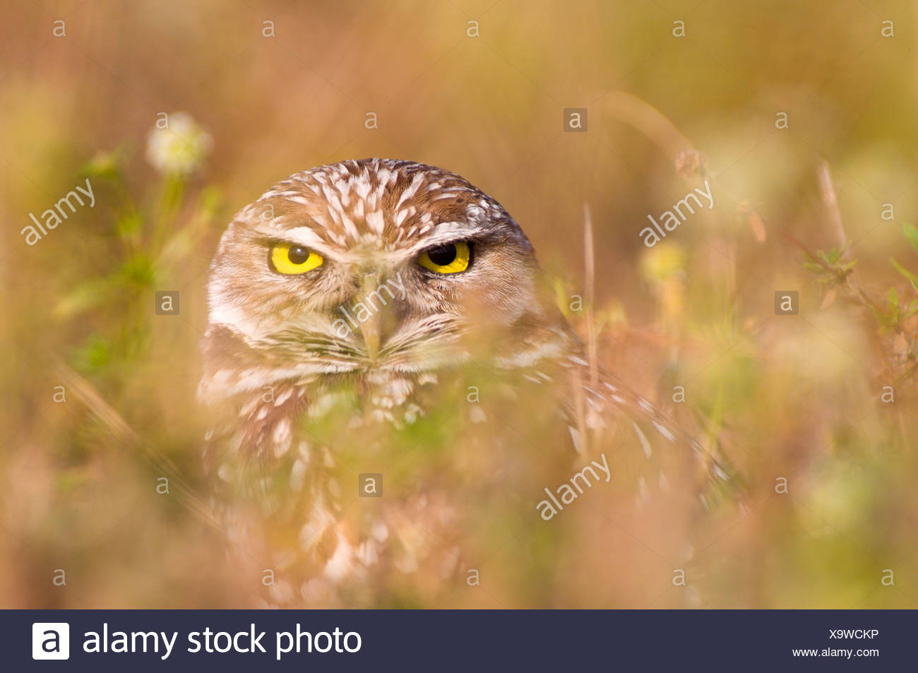 burrowing owl (Athene cunicularia), sitting well camouflaged in the vegetation, USA, Florida, Captiva Island Stock Photo