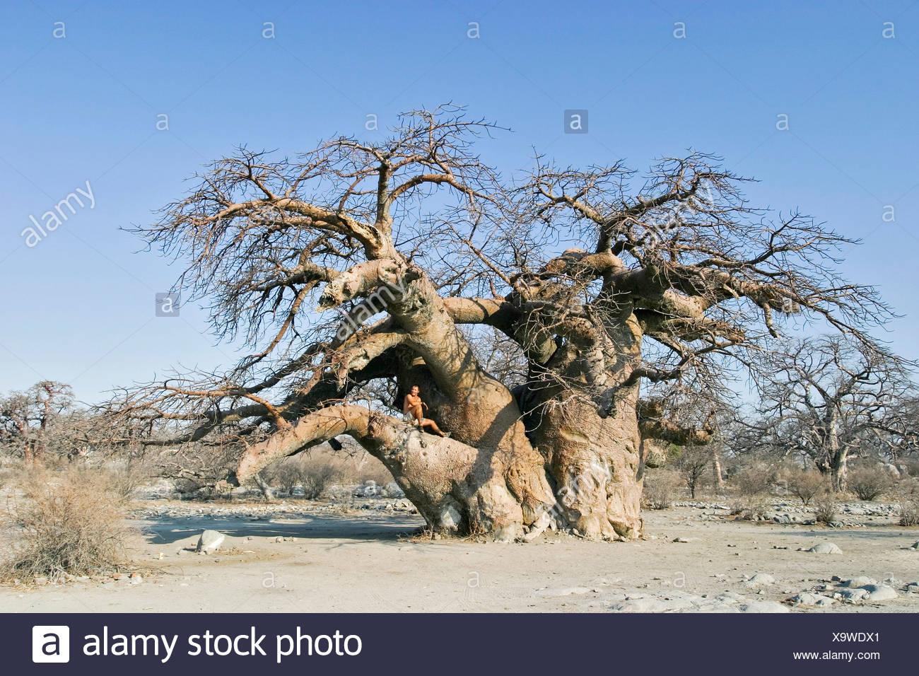 Baobabs or Adansonia digitata on Kubu Island (Lekubu) in the south west of Sowa Pan, Makgadikgadi pans, Botswana, Africa Stock Photo