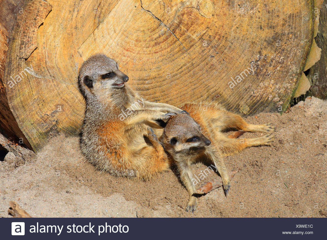 suricate, slender-tailed meerkat (Suricata suricatta), two suricates snuggling with each other - Stock Image