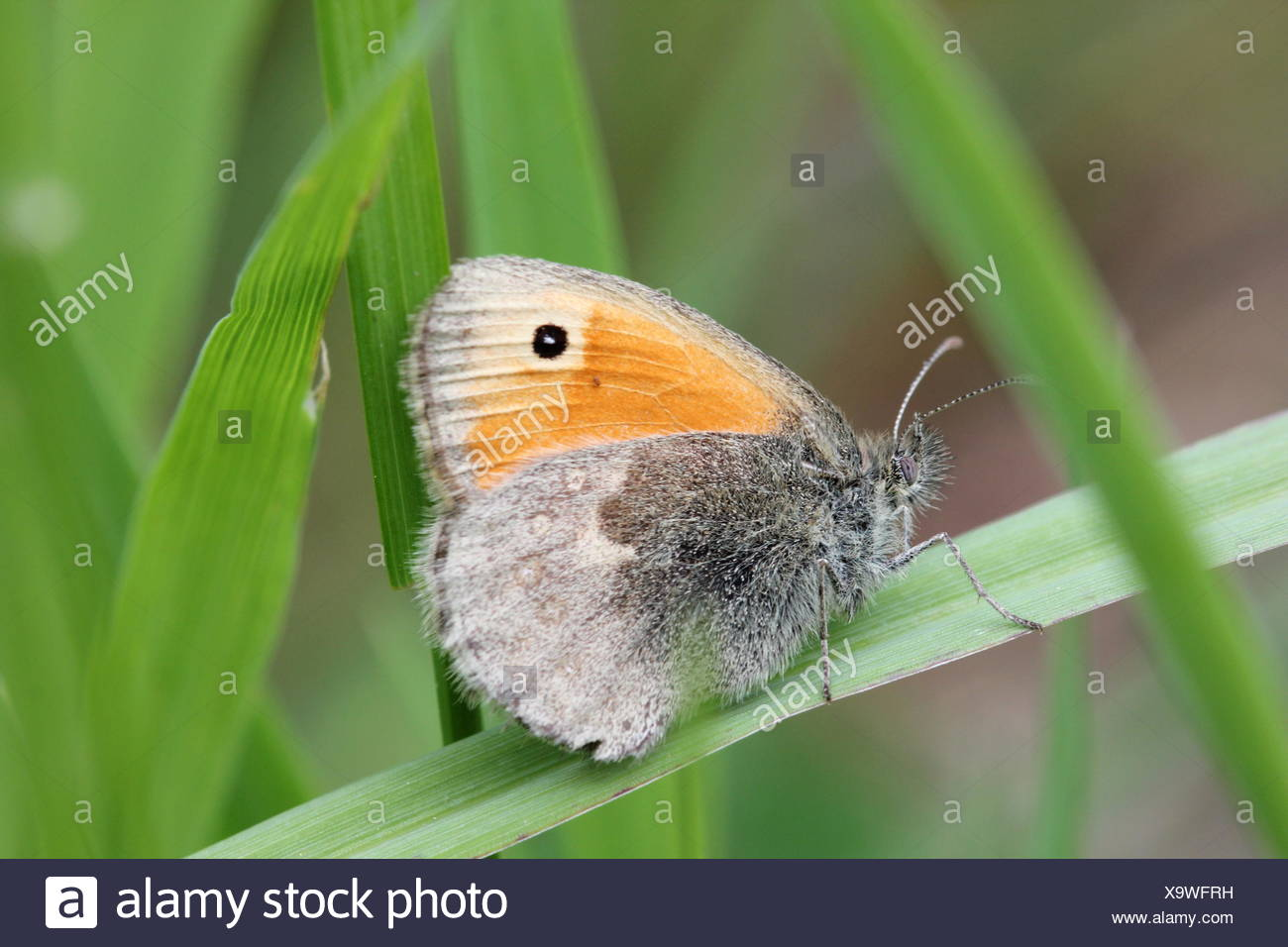Butterfly On Grass Blade - Stock Image