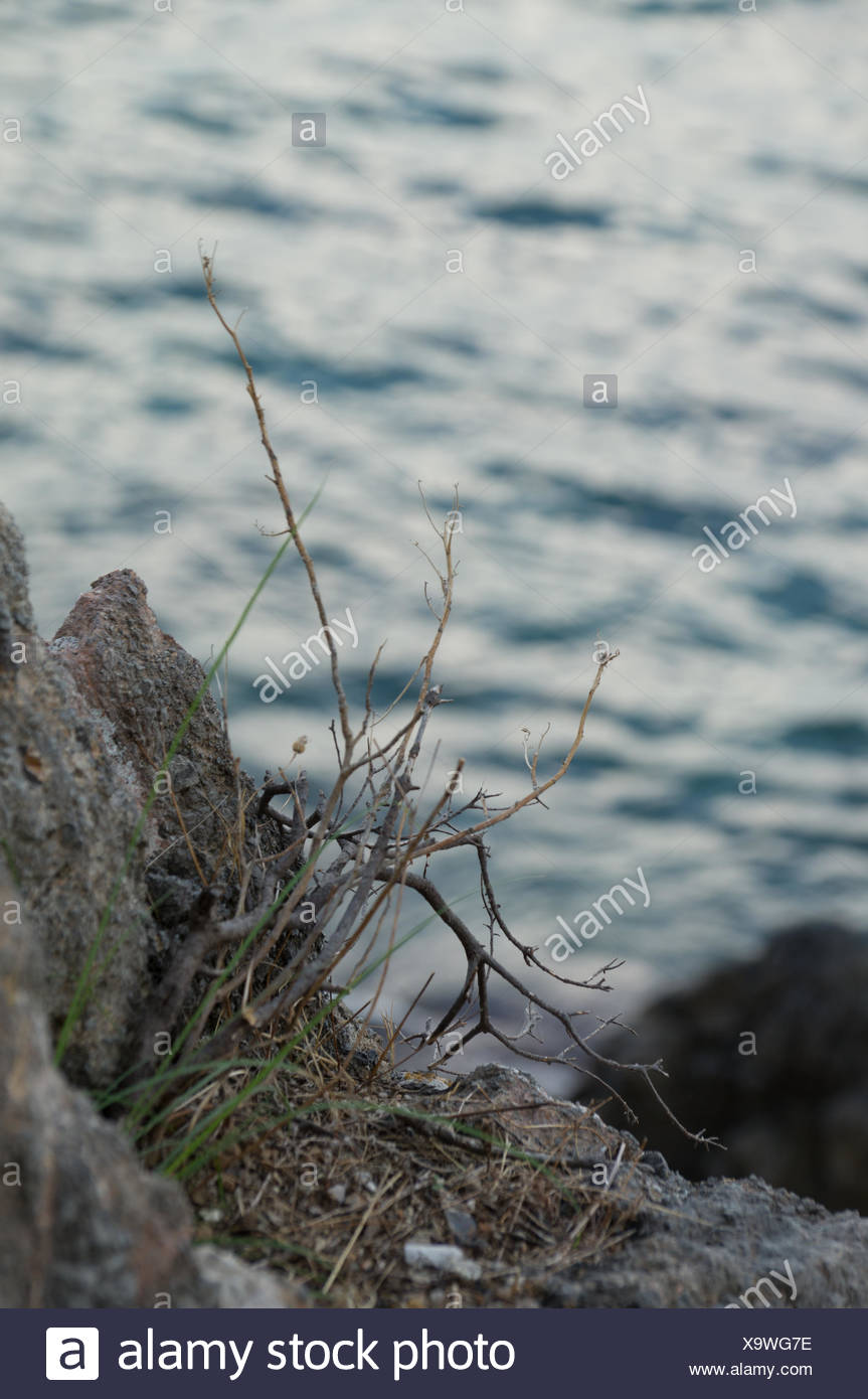 Dried Plant On Rock - Stock Image