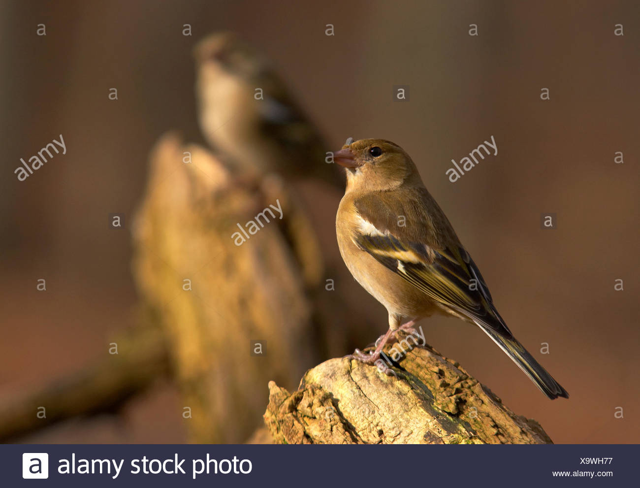 tree look glancing see view looking peeking looking at spring branch feathers - Stock Image