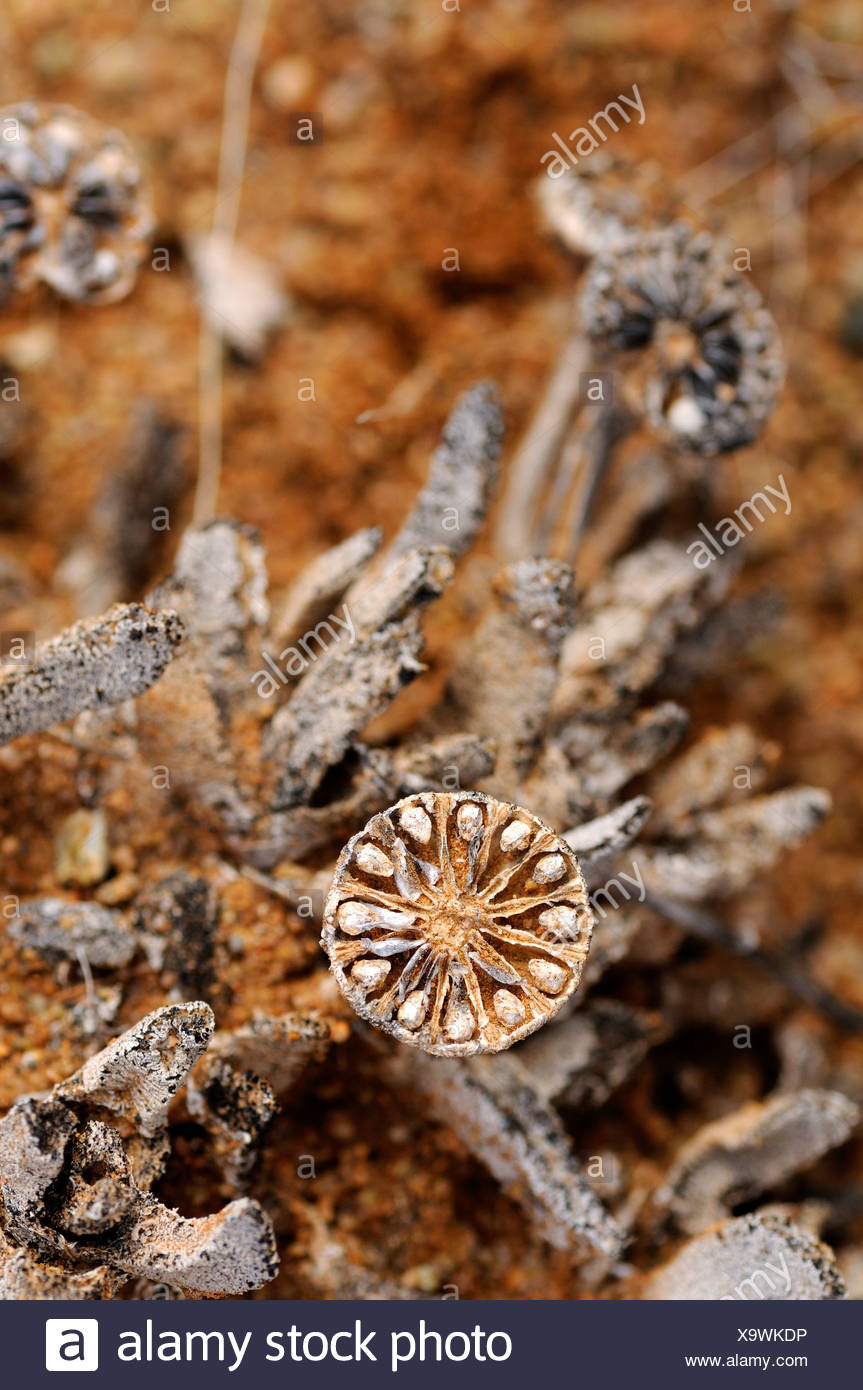 Open, emptied seed capsule of Leipoldtia, Richtersveld, South Africa, Africa - Stock Image