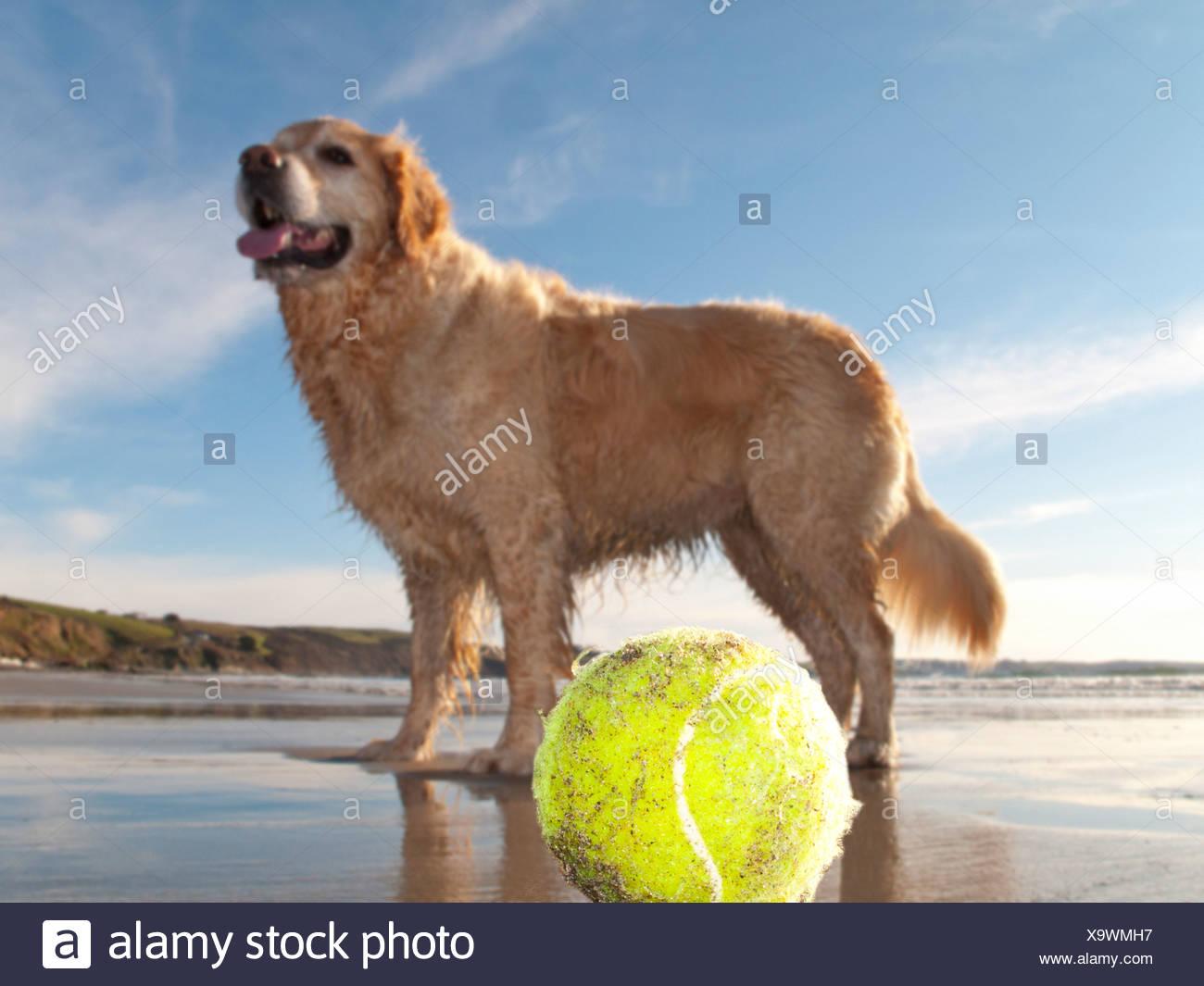 Dog enjoying beach and tennis ball at Gerrans Bay, Cornwall, United Kingdom - Stock Image