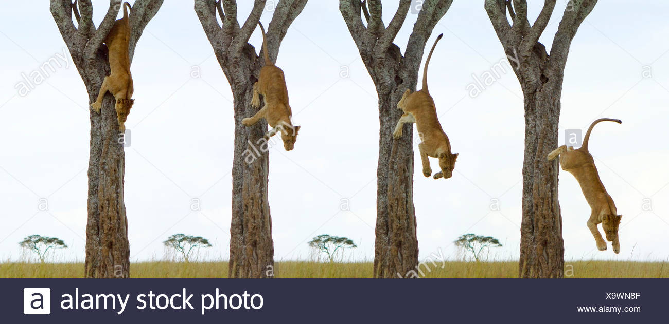 Sequence of a Lioness (Panthera leo) leaping from a tree - Stock Image