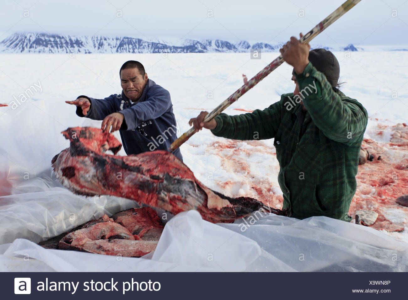 North America, Canada, Nordkanada, Nunavut, Baffin Iceland, Eclipse sound, Pond Inlet, Inuit, whale hunt, hunter, narwhal, disassemble, - Stock Image