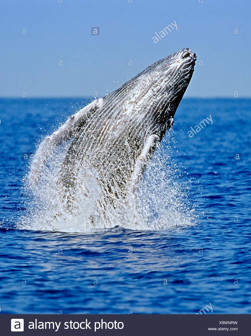 Humpback Whale breaching, Megaptera novaeangliae, Hawaii, USA - Stock Image