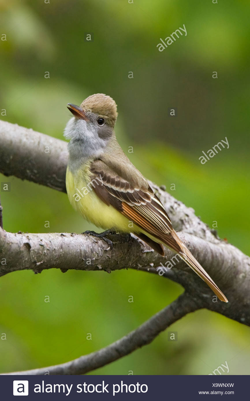 Great-crested Flycatcher (Myiarchus crinitus) perched on a branch near Long Point, Ontario, Canada - Stock Image