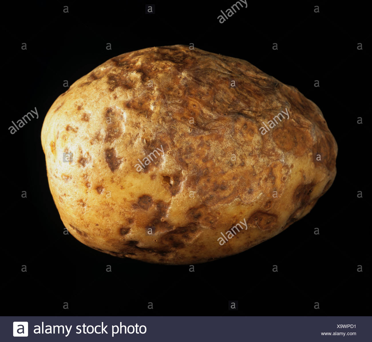 Pit rot, a bacterial invasion associated with Erwinia carotovora on a potato tuber in store - Stock Image