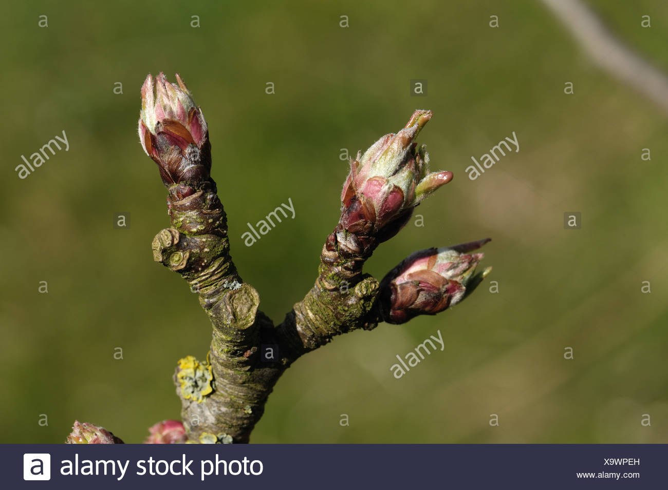 Opening leaf buds on an apple branch in spring - Stock Image