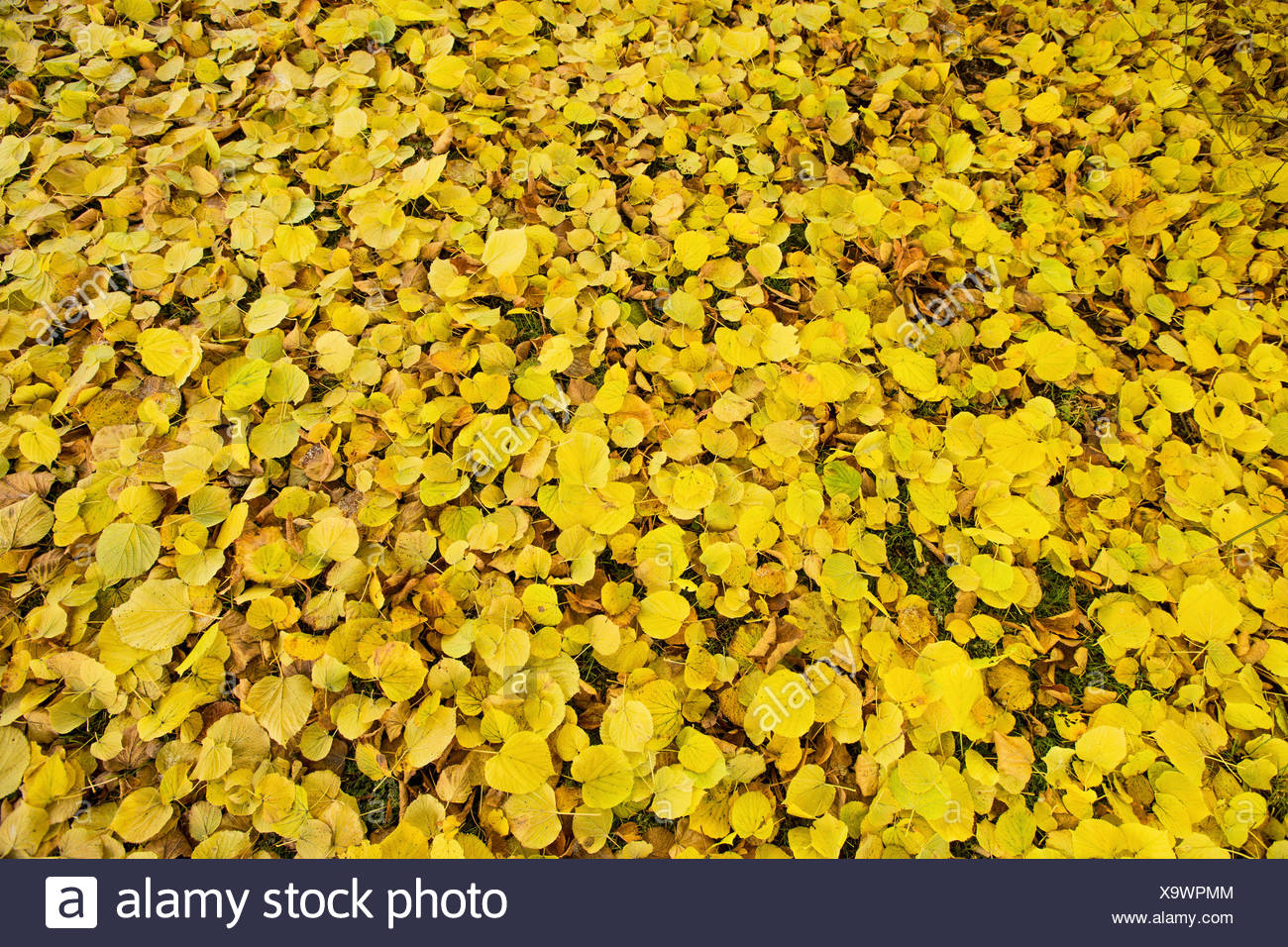 large-leaved lime, lime tree (Tilia platyphyllos), golden autumn leaves on the ground, Germany, Bavaria Stock Photo