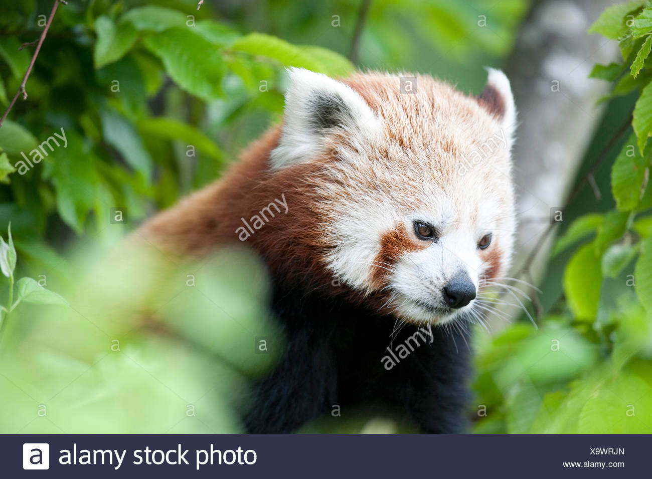 Red Panda, Ailurus fulgens, Captive, China, lesser panda and red cat-bear, is a small arboreal mammal native to the eastern Himalayas and southwestern - Stock Image