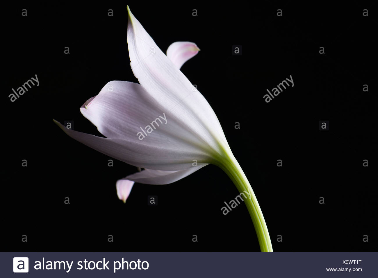 White lily, close-up - Stock Image