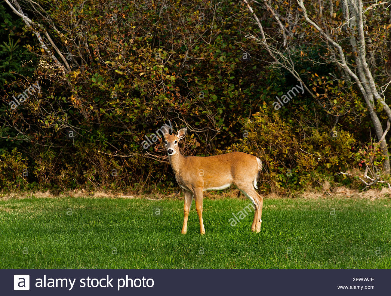 Alert white-tailed deer, Maine, USA - Stock Image