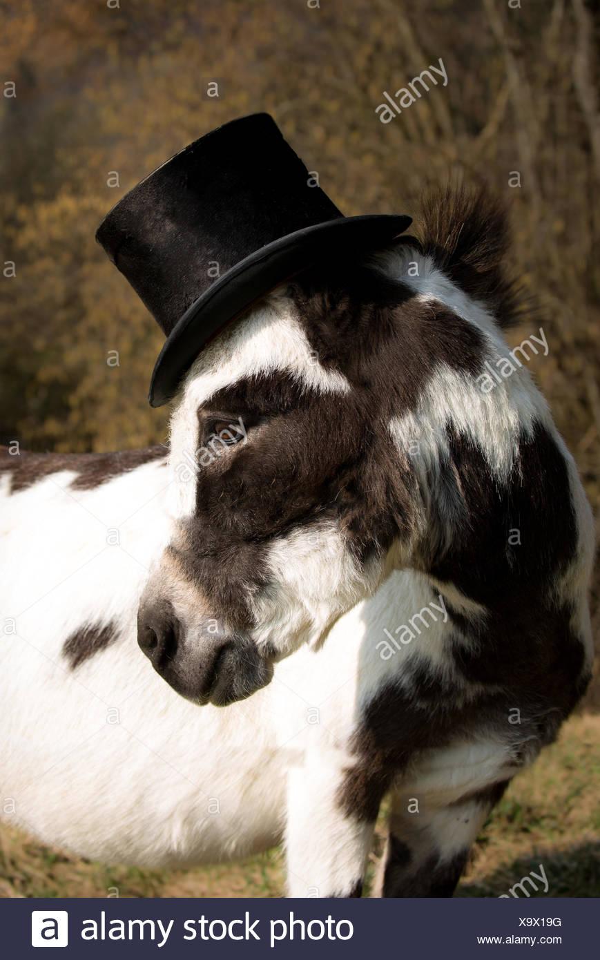 Donkey with Hat - Stock Image