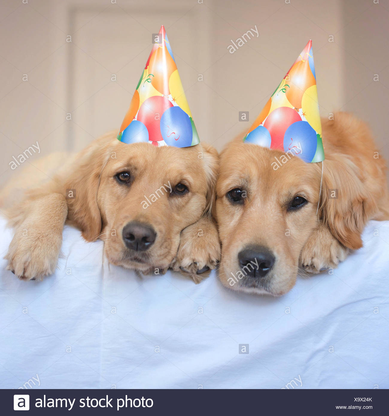 Two Golden Retriever Dogs Wearing Party Hats Stock Photo 281470243