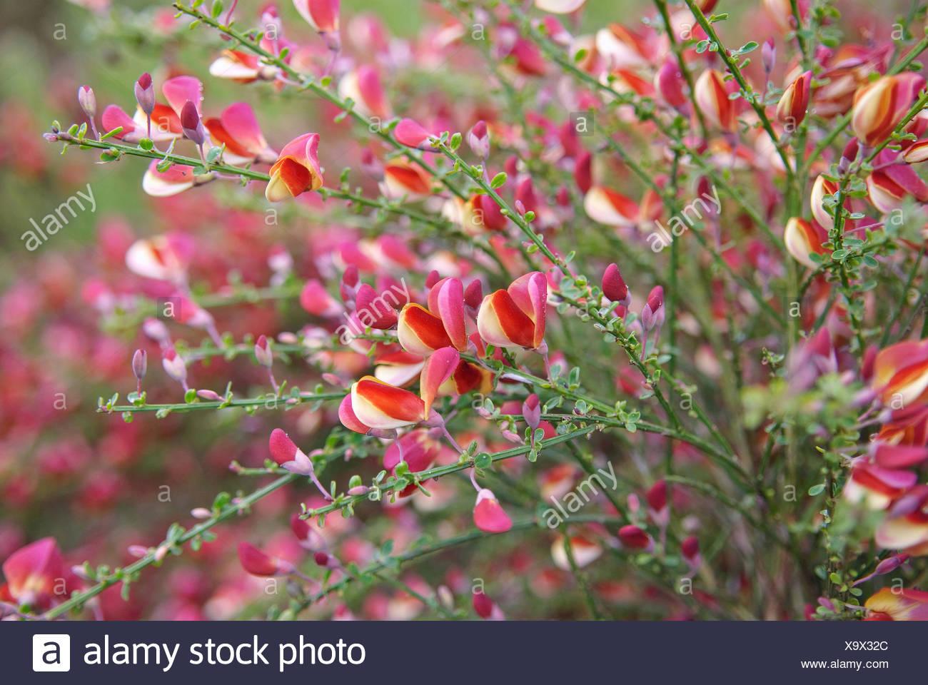Scotch broom (Cytisus scoparius 'Red Wings', Cytisus scoparius Red Wings), cultivar Red Wings, blooming - Stock Image