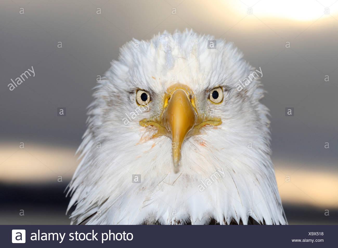 American bald eagle (Haliaeetus leucocephalus), portrait, USA, Alaska, Kenai - Stock Image