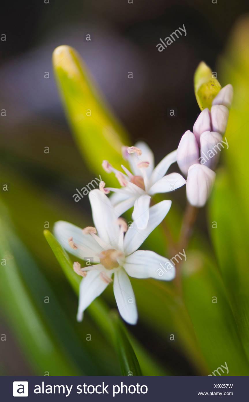 Scilla bifolia 'Rosea', Squill, Rosy squill, White. Stock Photo