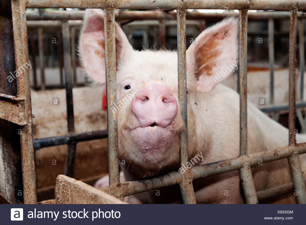 Piglet sitting in a cage, looking at camera - Stock Image