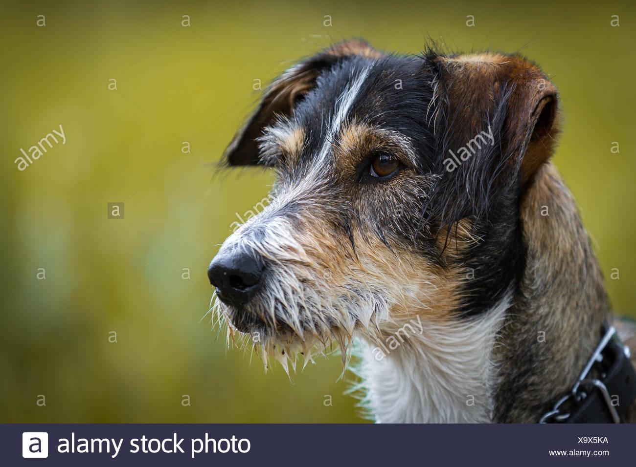 dackel terrier