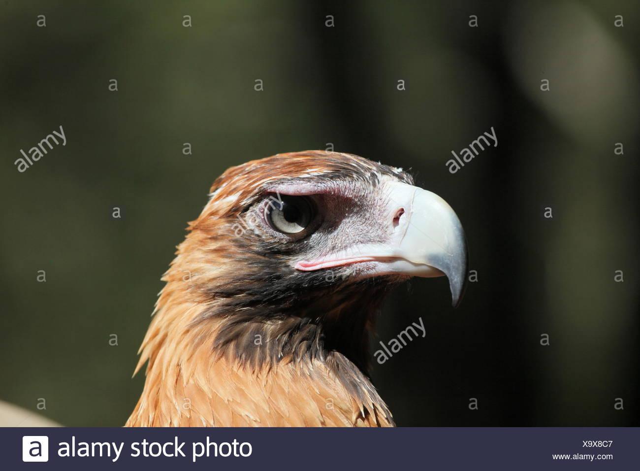 wedge, eagle, berry, portrait, keilschwanzadler, tailed, australien, Stock Photo