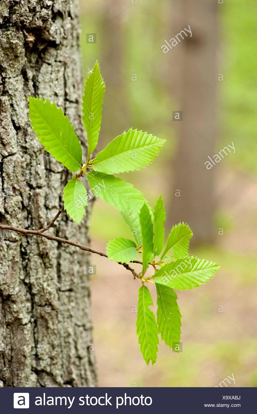 Horse chestnut Aesculus hippocastanum East Blean Woodlands Kent UK Kent Wildlife Trust showing leaves and bark - Stock Image