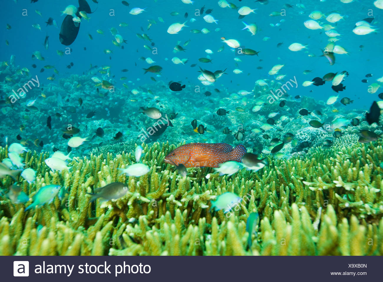 Fish swimming off sipadan island - Stock Image